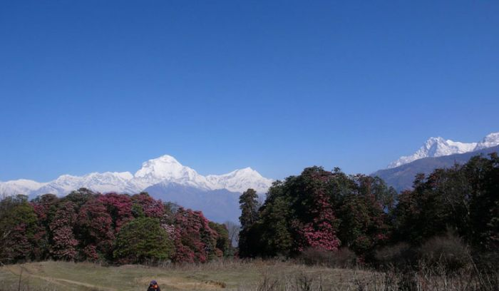 rhododendron flower and Dhaulagiri views- April month from Ghorepani
