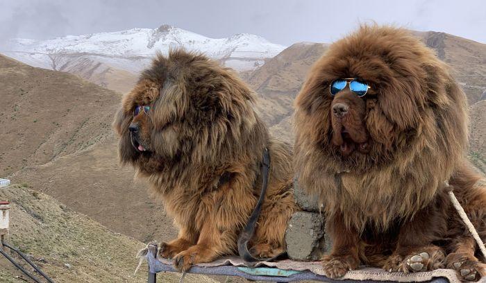 Dogs in Tibet